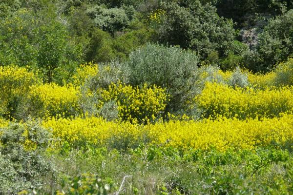 Balade Botanique au pied de l'Oppidum des Courens